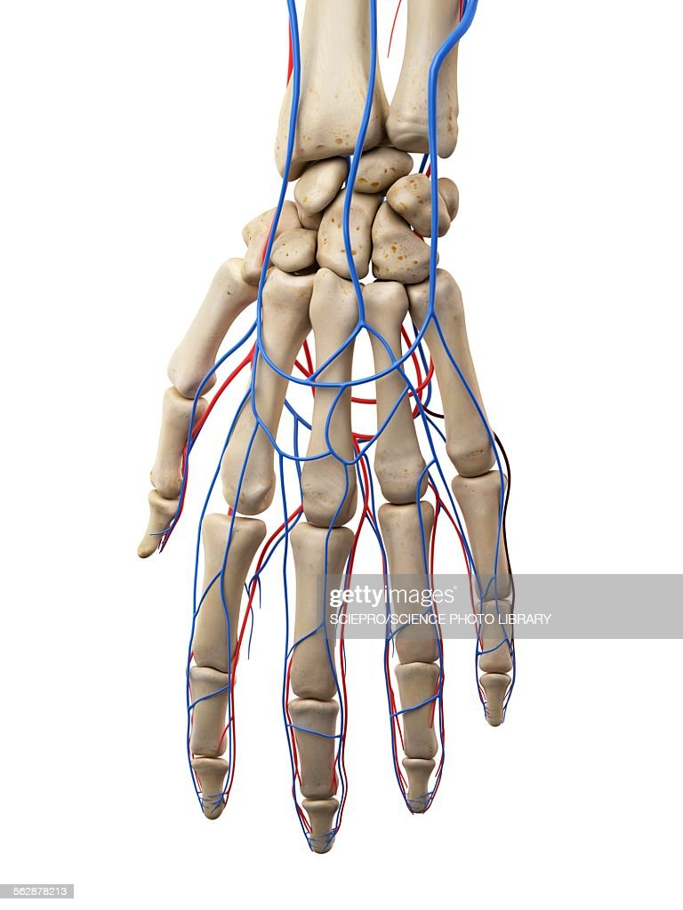 Fantastic Hand Veins Embellishment - Physiology Of Human Body Images ...