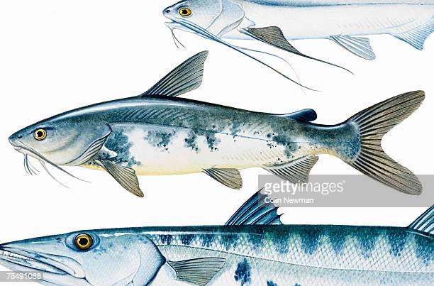 Hardhead Catfish (Arius felis)