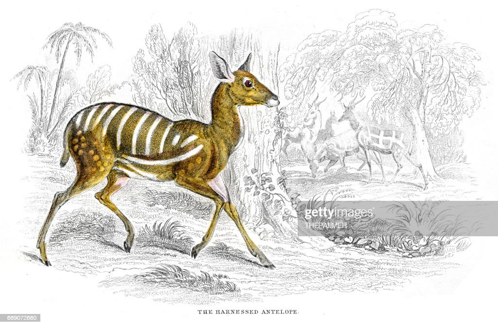 Harnessed antelope ithograph 1884 : Stock Illustration