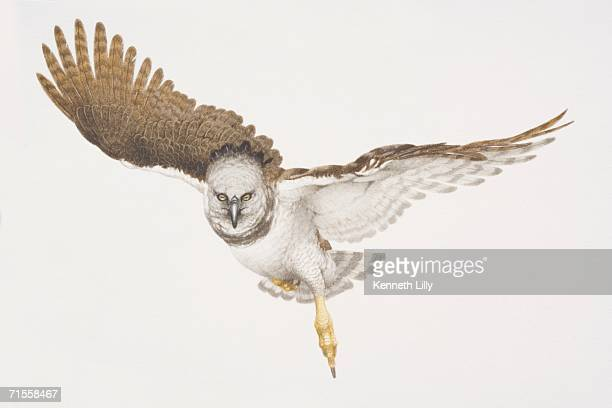 stockillustraties, clipart, cartoons en iconen met harpia harpyja, harpy eagle in flight. - harpij arend
