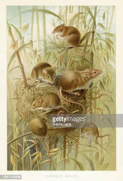 stockillustraties, clipart, cartoons en iconen met oogst muis chromolithograph 1896 - zoogdier