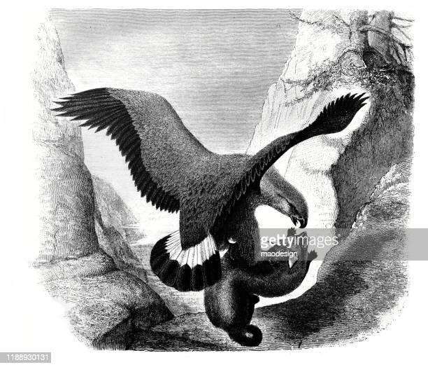 ilustrações, clipart, desenhos animados e ícones de hawk caçava a raposa - 1887
