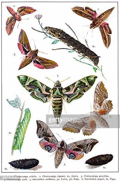 Hawk moths and larva