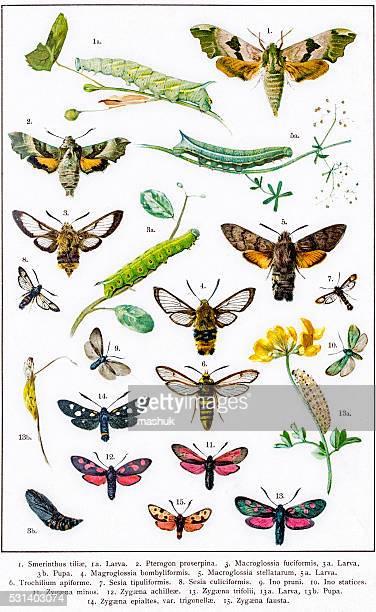 ilustrações, clipart, desenhos animados e ícones de hawkmoths sphingids e outros traça da europa - zoologia
