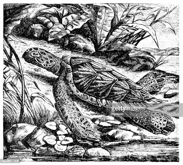 hawksbill sea turtle (eretmochelys imbricata) - encyclopaedia stock illustrations, clip art, cartoons, & icons