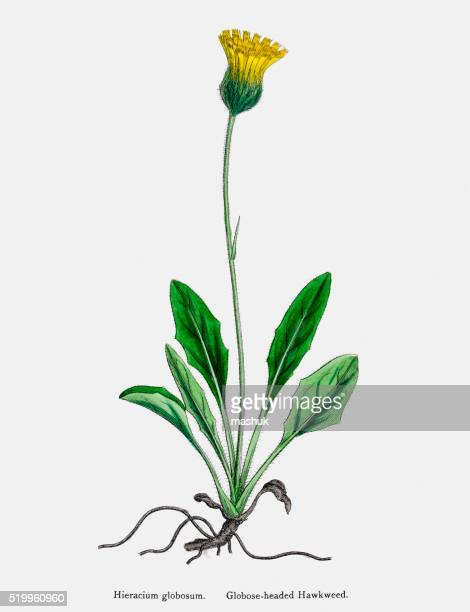 hawkweed chicory plant 19th century illustration - chicory stock illustrations, clip art, cartoons, & icons
