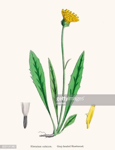 Hawkweed chicory plant 19th century illustration