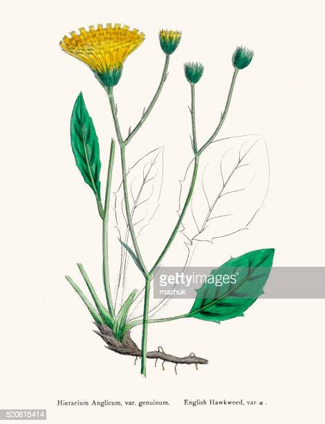 hawkweed chicory plant 19th century illustration - endive stock illustrations, clip art, cartoons, & icons