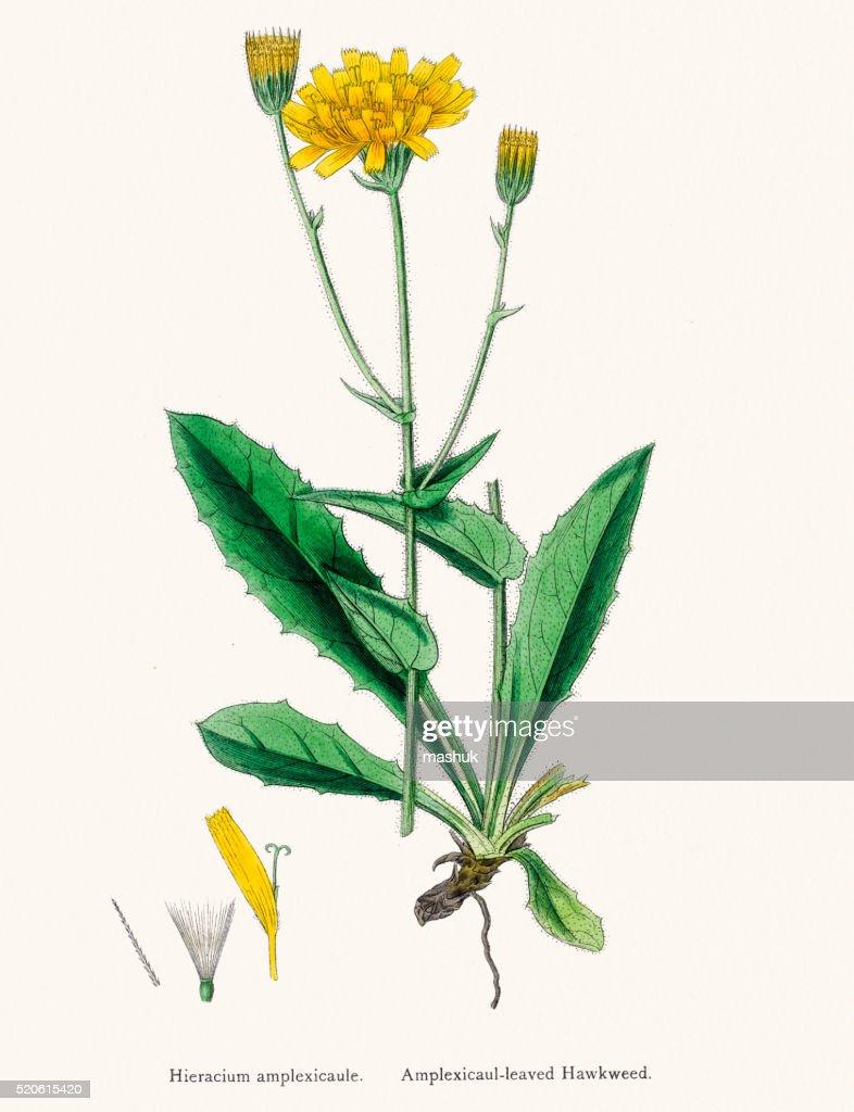 Hawkweed chicory plant 19th century illustration : stock illustration