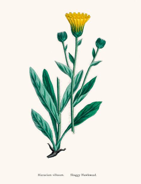 Hawkweed Chicory Plant 19th Century Illustration Wall Art