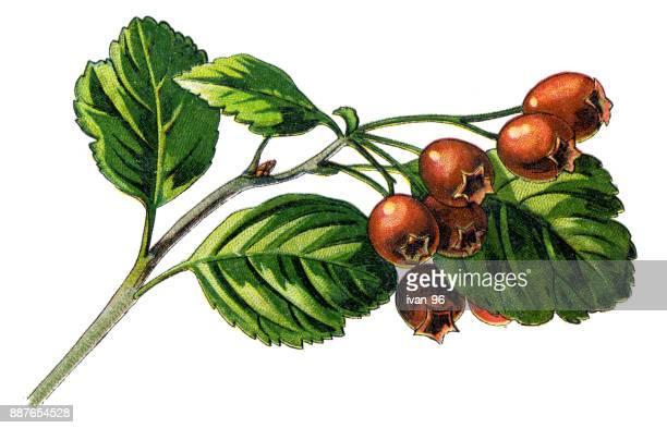 hawthorn - hawthorn,_victoria stock illustrations
