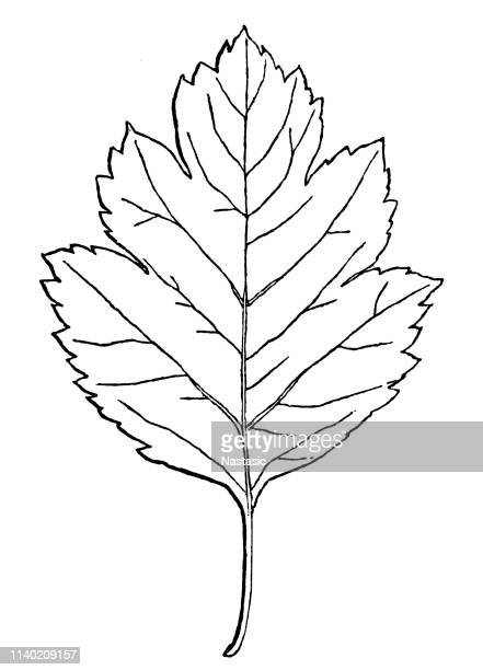 ilustrações, clipart, desenhos animados e ícones de ilustração da folha do hawthorn - pilritreiro