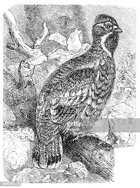 hazel grouse or hazel hen - tetrastes bonasia - encyclopaedia stock illustrations, clip art, cartoons, & icons