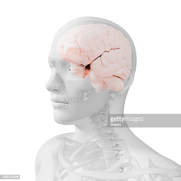 head anatomy, artwork - male likeness stock illustrations