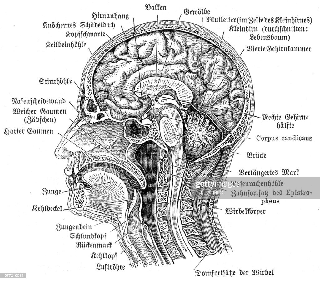 Head And Brain Anatomy Engraving 1857 Stock Illustration | Getty Images