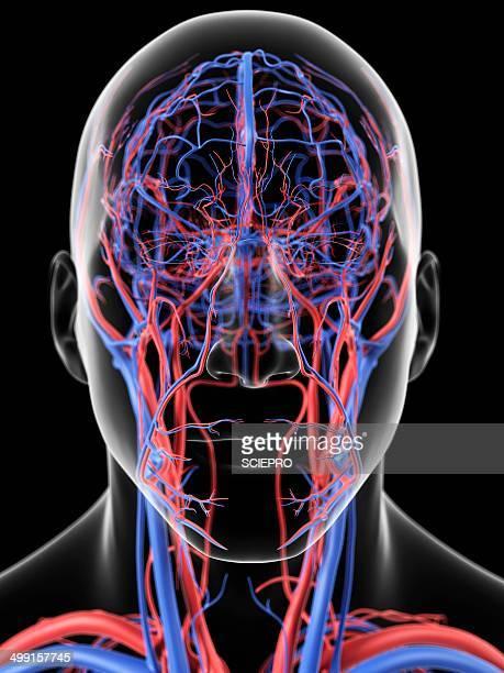 ilustrações, clipart, desenhos animados e ícones de head blood vessels, artwork - cabeça humana