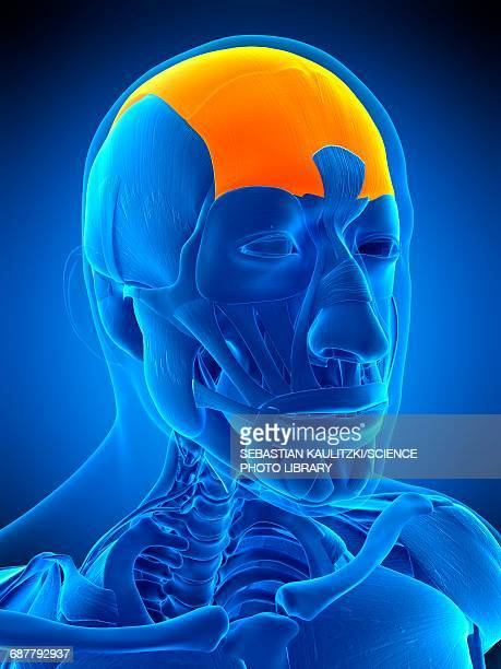 frontalis muscle stock illustrations and cartoons getty images