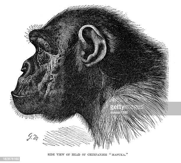 Head of a Chimpanzee