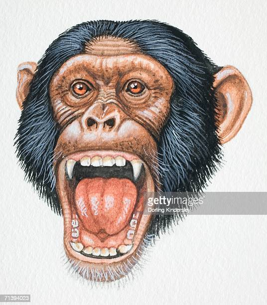 Head of a Chimpanzee, Pan troglodytes, opening its mouth and exposing its teeth, front view.