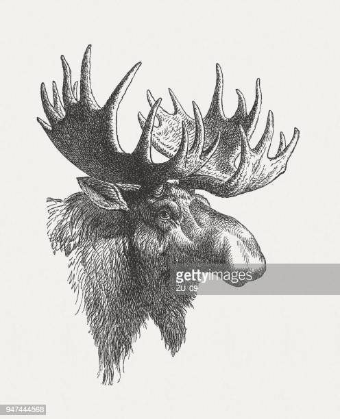 Head of a moose (Alces alces), wood engraving, published in 1897