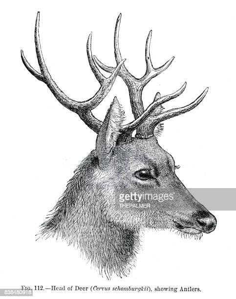 Head of deer engraving 1883