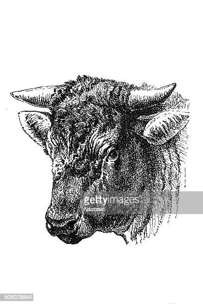 head of the dutch bull - bull animal stock illustrations