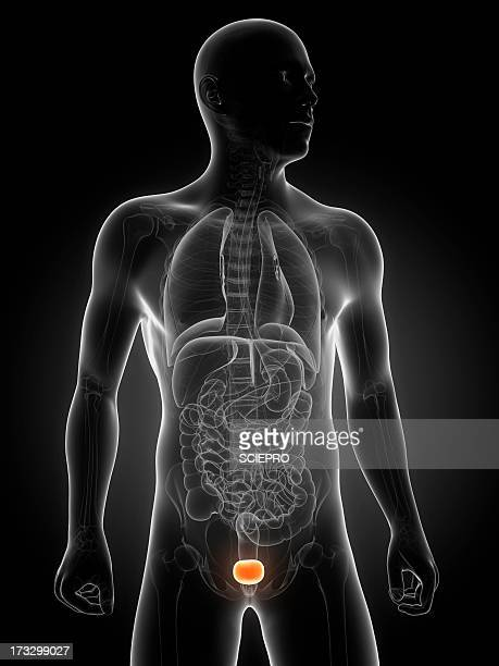 healthy bladder, artwork - translucent stock illustrations