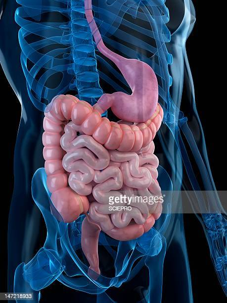 healthy digestive system, artwork - human intestine stock illustrations