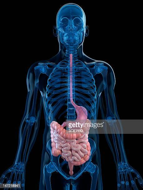 healthy digestive system, artwork - human small intestine stock illustrations