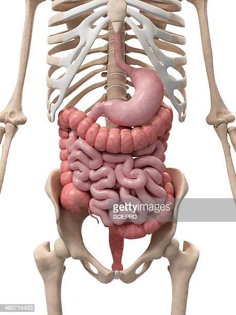 healthy digestive system, artwork - human intestine stock illustrations, clip art, cartoons, & icons