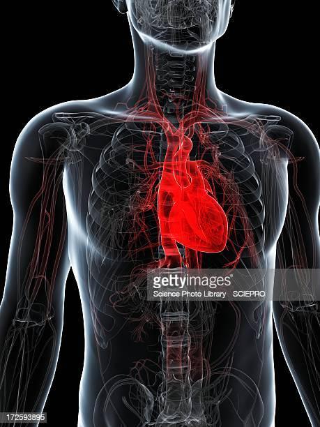 illustrations, cliparts, dessins animés et icônes de healthy heart, artwork - coeur humain