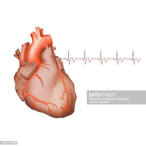 healthy human heart, illustration - myocardium stock illustrations, clip art, cartoons, & icons