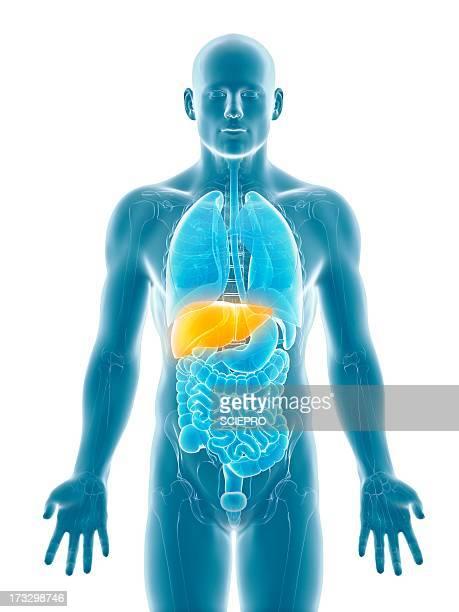 healthy liver, artwork - 人の肝臓点のイラスト素材/クリップアート素材/マンガ素材/アイコン素材