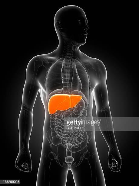 healthy liver, artwork - liver stock illustrations, clip art, cartoons, & icons