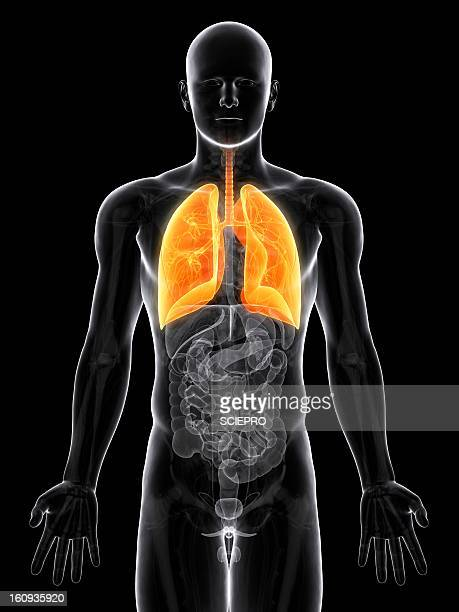 healthy lungs, artwork - chest torso stock illustrations, clip art, cartoons, & icons