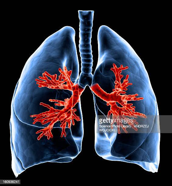 healthy lungs, artwork - respiratory system stock illustrations, clip art, cartoons, & icons