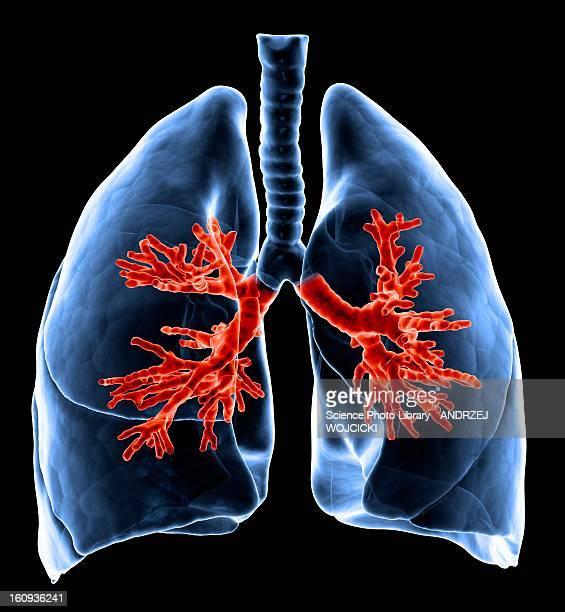 ilustraciones, imágenes clip art, dibujos animados e iconos de stock de healthy lungs, artwork - sistema respiratorio