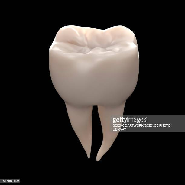 healthy molar tooth - molar stock illustrations