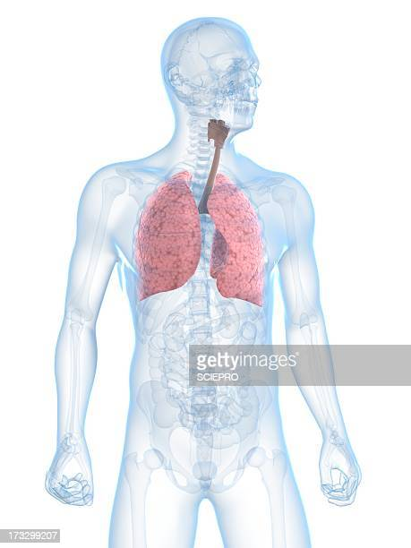 healthy respiratory system, artwork - human body part stock-grafiken, -clipart, -cartoons und -symbole
