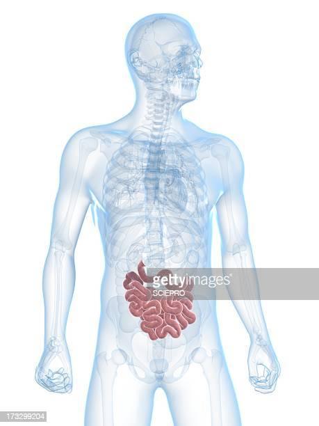 Healthy small intestine, artwork