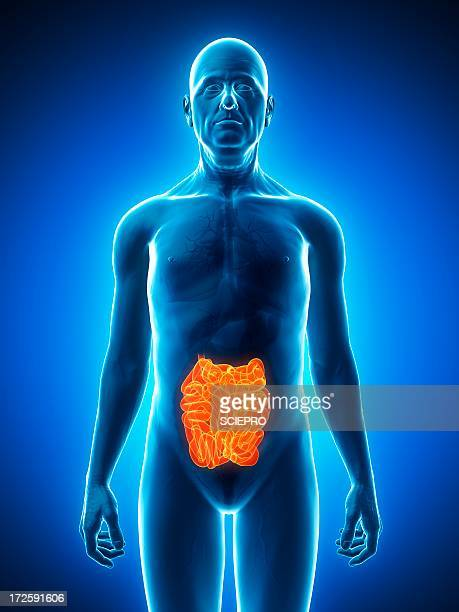 healthy small intestines, artwork - human small intestine stock illustrations