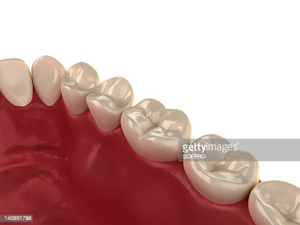 healthy teeth, artwork - human teeth stock illustrations