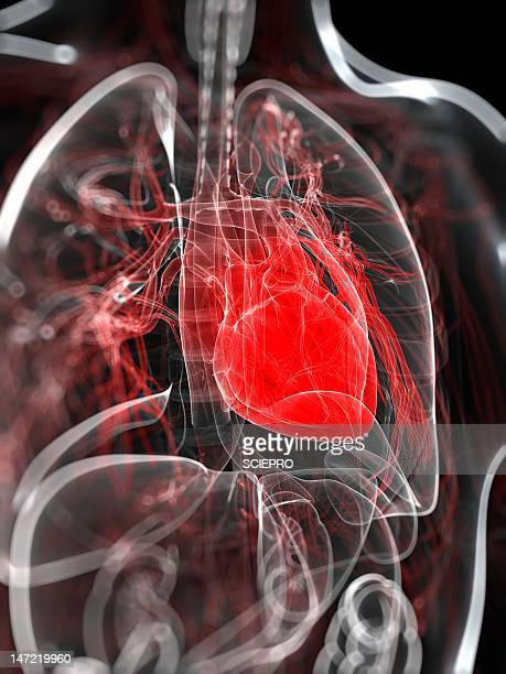 heart anatomy, artwork - tissue anatomy stock illustrations, clip art, cartoons, & icons