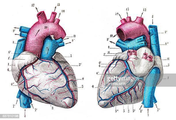 Heart anatomy engraving 1899