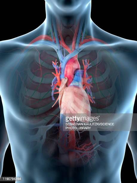 heart anatomy, illustration - heart ventricle stock illustrations