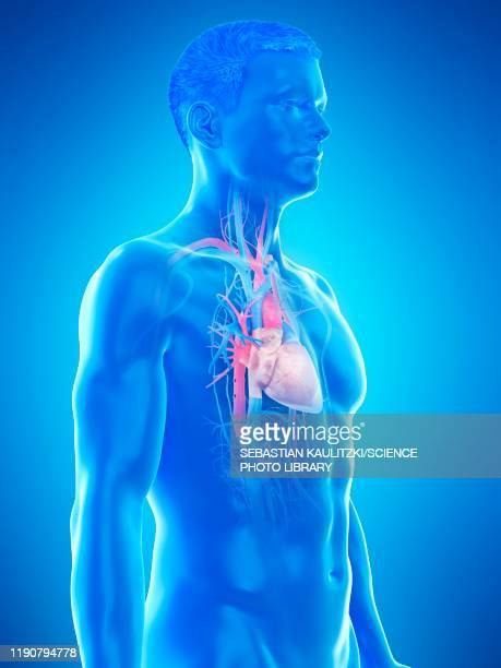 heart anatomy, illustration - anatomy stock illustrations