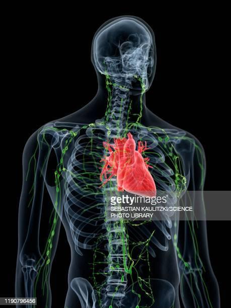 heart anatomy, illustration - order stock illustrations