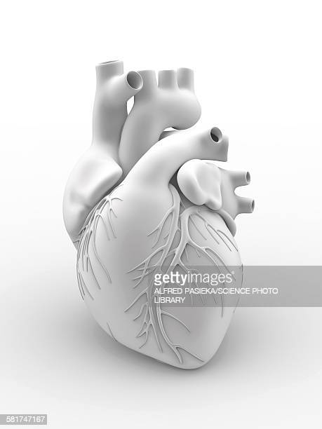 heart and coronary arteries, artwork - 2015 stock illustrations