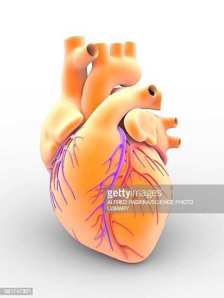 heart and coronary arteries, artwork - coronary artery stock illustrations, clip art, cartoons, & icons