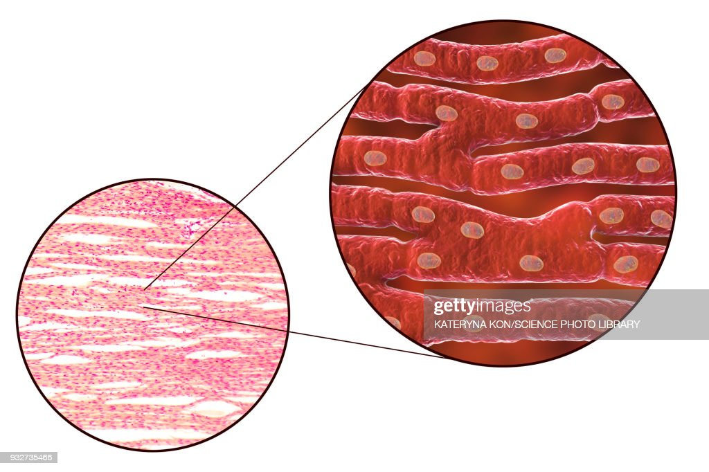 Heart Muscle Structure Illustration And Micrograph Stock